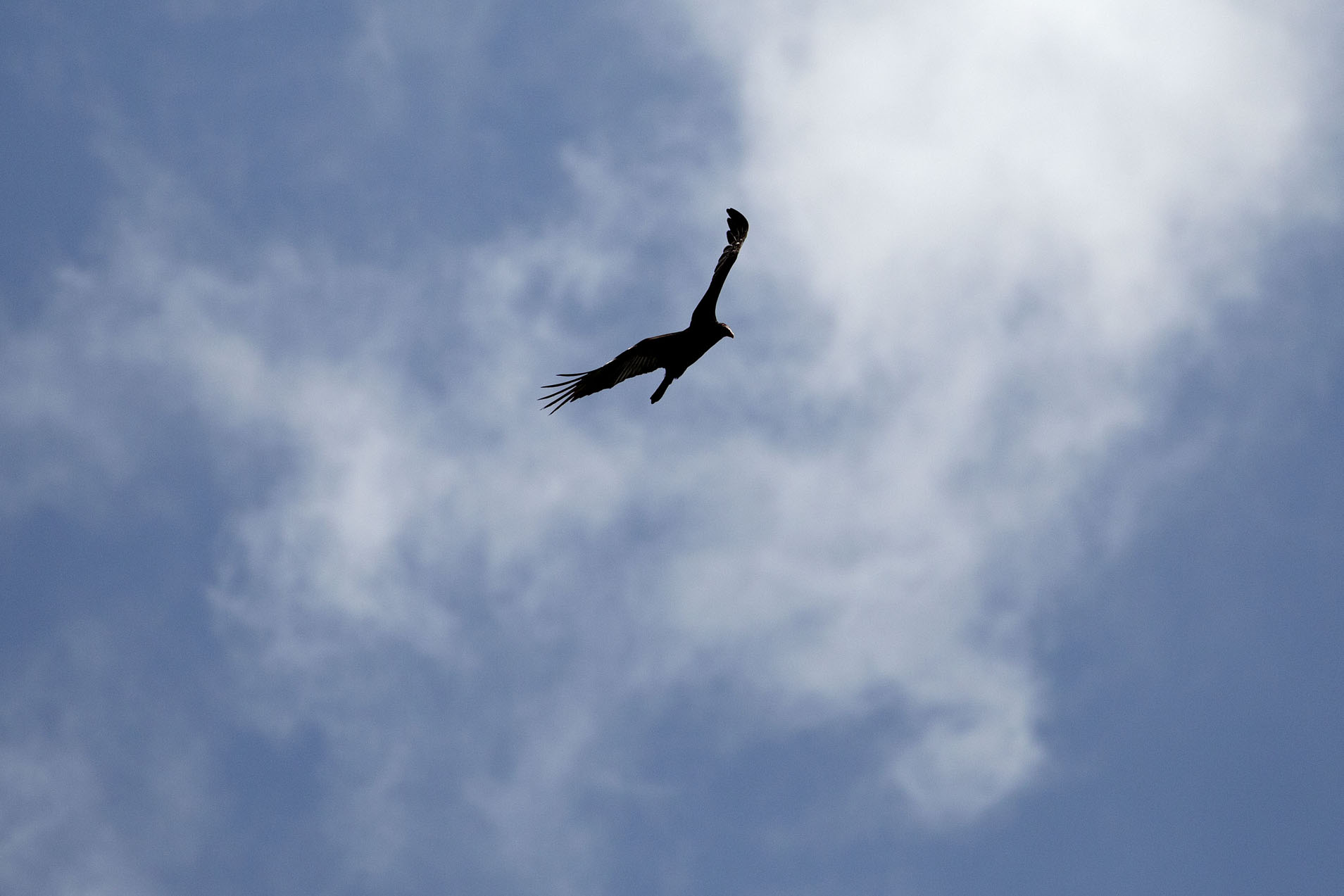 Picture of Black bird of prey flying over Soberanía NP - Panama - Americas