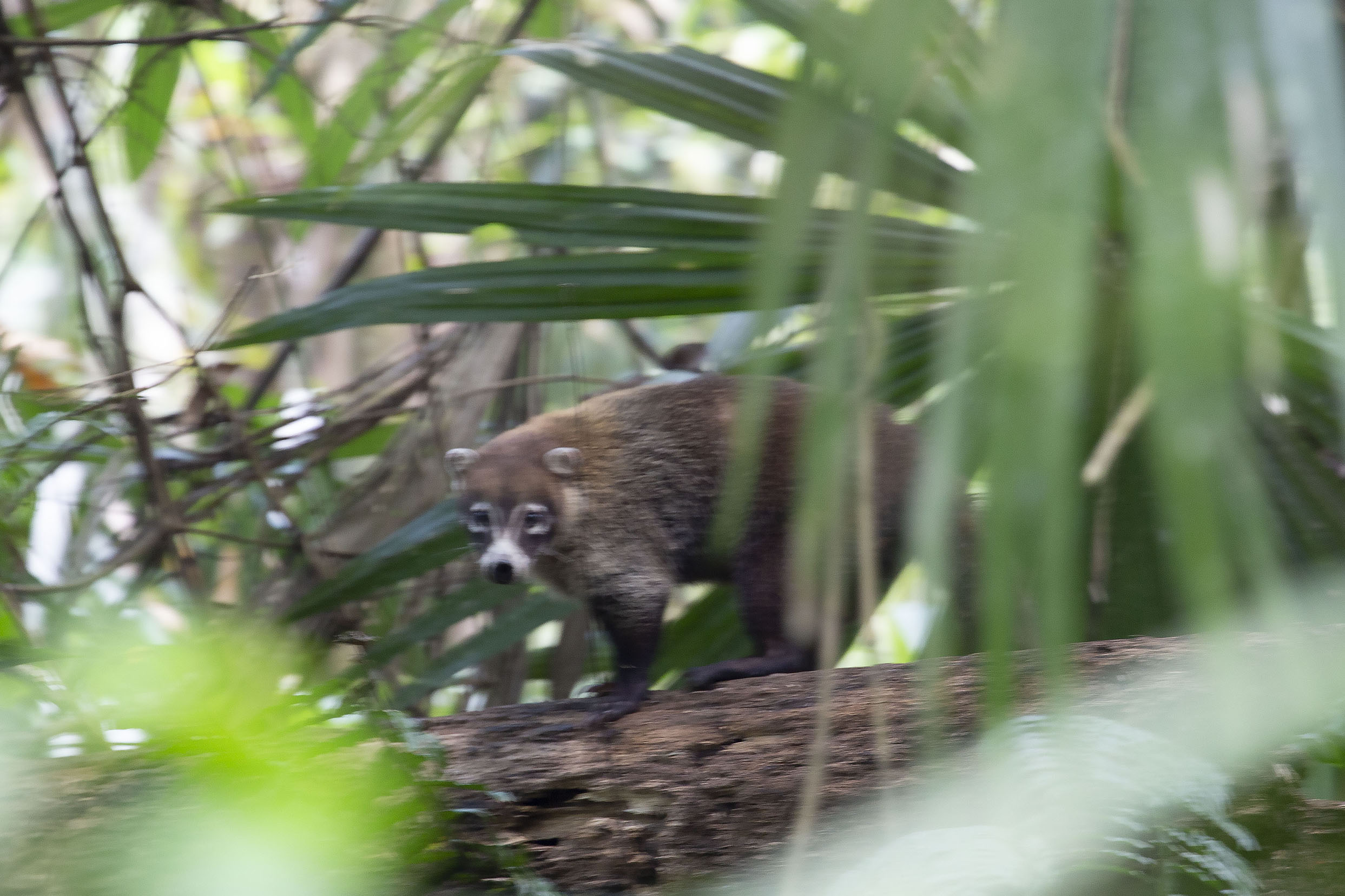 Foto van White-nosed coati in Soberanía NPSoberanía National Park - Panama