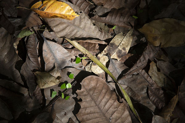 Ants carrying parts of leaves over the Camino de Cruces | Parc national Soberanía | le Panama