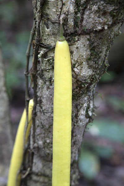 Picture of Tree with yellow, long fruits in Soberanía NP