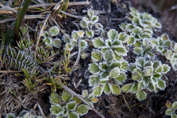 Frost on small plants near the summit of Mount Wilhelm | Mount Wilhelm | Papua New Guinea