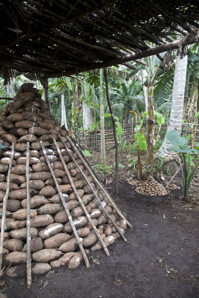 Picture of Okaiboma (Papua New Guinea): Piles of yams waiting to be put into yam houses during special festivities