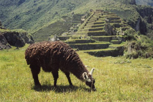 Llama wandering around the ruins, probably not completely aware of their significance. | Machu Picchu | Peru
