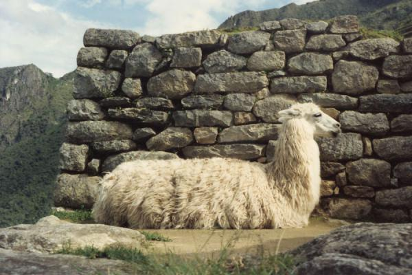Picture of Old Inca wall of Machu Picchu with white llama
