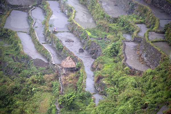 Close-up of rice paddy near Batad | Rizières Ifugao | Philippines