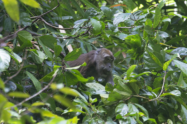 Monkey in the trees above the first Kuyawyaw falls | Kuyawyaw watervallen | Filippijnen