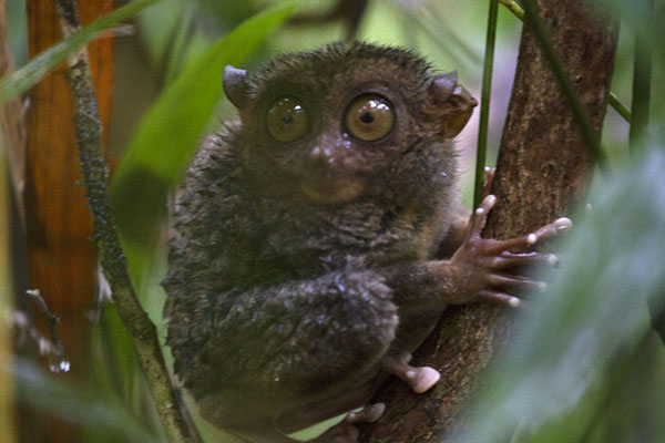 Tarsier in a tree in the sanctuary - 非律賓