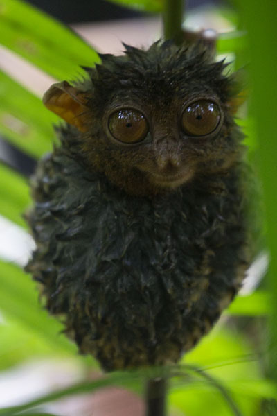 Foto van Totally wet tarsier in a treeCorella - Filippijnen