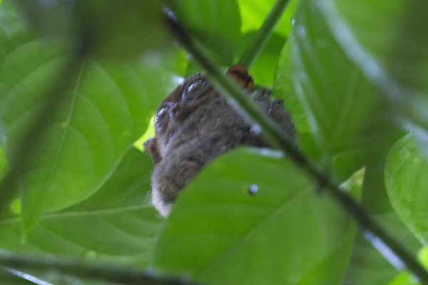 Photo de Tarsier high up in a treeCorella - Philippines