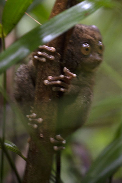 Photo de Tarsier clinging on to a treeCorella - Philippines