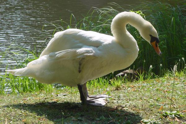 One of the swans in the major lake | Lazienki Park | Poland