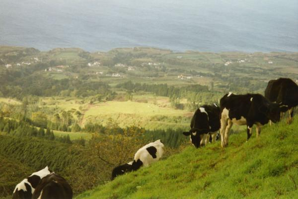Foto de Cows on a green hill of the AzoresAzores - Portugal