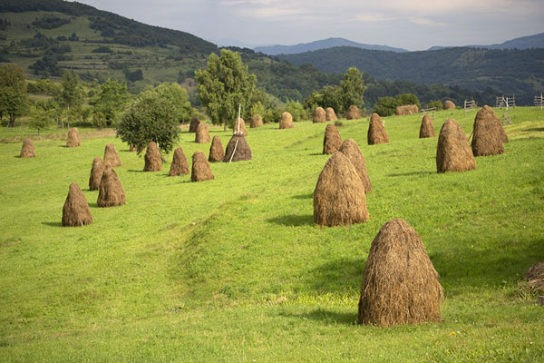 Foto di Rows of haystacks in Iza ValleyValle Iza - Rumania