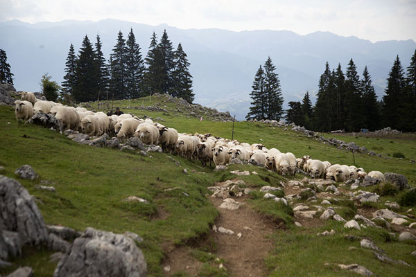Foto van Sheep with their shepherd in the mountains close to the Kalibash villages - Roemenië - Europa