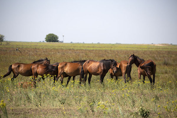 Herd of feral horses in the plains near Cardon | Delta del Danubio de Sulina | Rumania