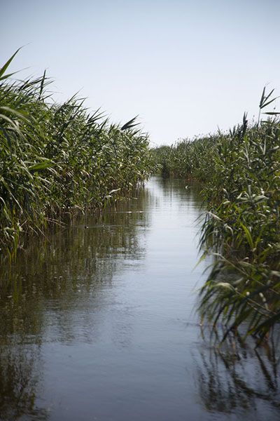 Picture of Channel in the Danube delta near CardonSulina - Romania