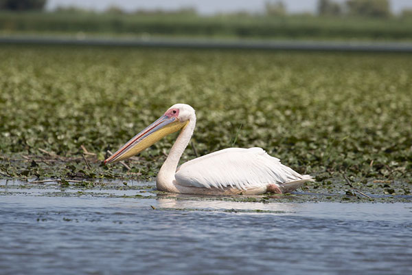 Photo de Pelican swimming in Musura BaySulina - Roumanie