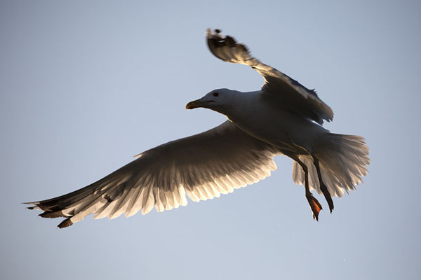 Photo de Seagull flying above Musura BaySulina - Roumanie