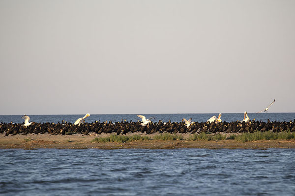 Pelicans and cormorants on K island, the newest island of Europe | Delta del Danubio de Sulina | Rumania