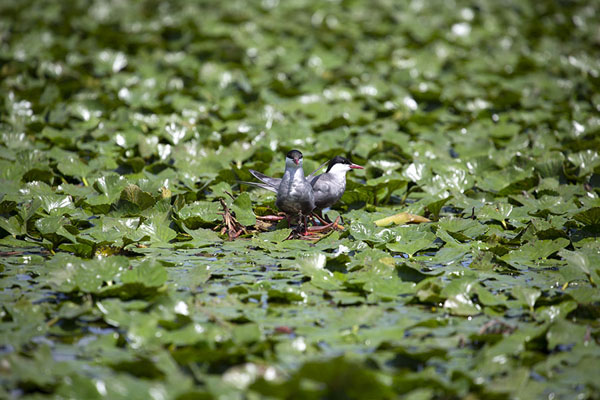 Birds on floating leaves in Musura Bay - 罗马尼亚