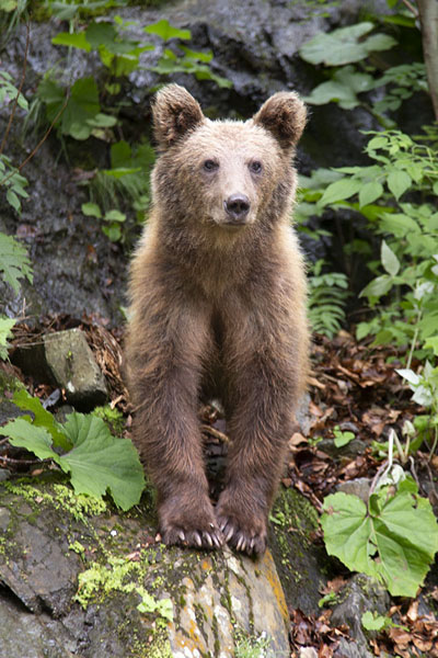 Foto di Vigilant brown bear with watchful eyes - Rumania - Europa
