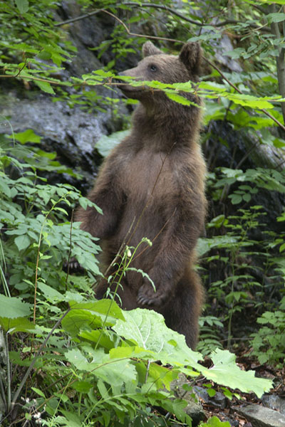 Foto van Brown bear on his hind legs near Transfăgărășan Road - Roemenië - Europa