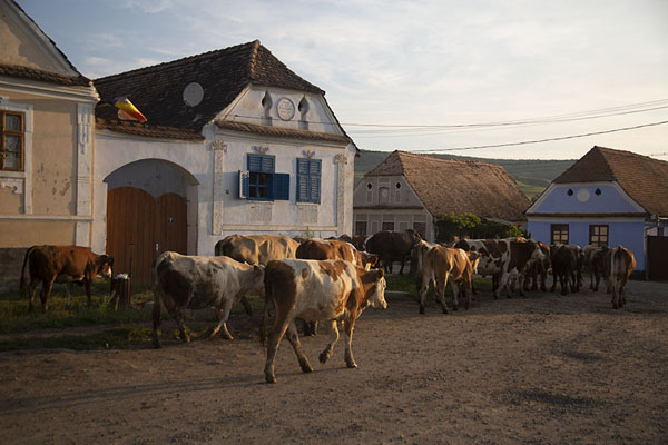 Foto van Herd of cows in the streets of ViscriViscri - Roemenië