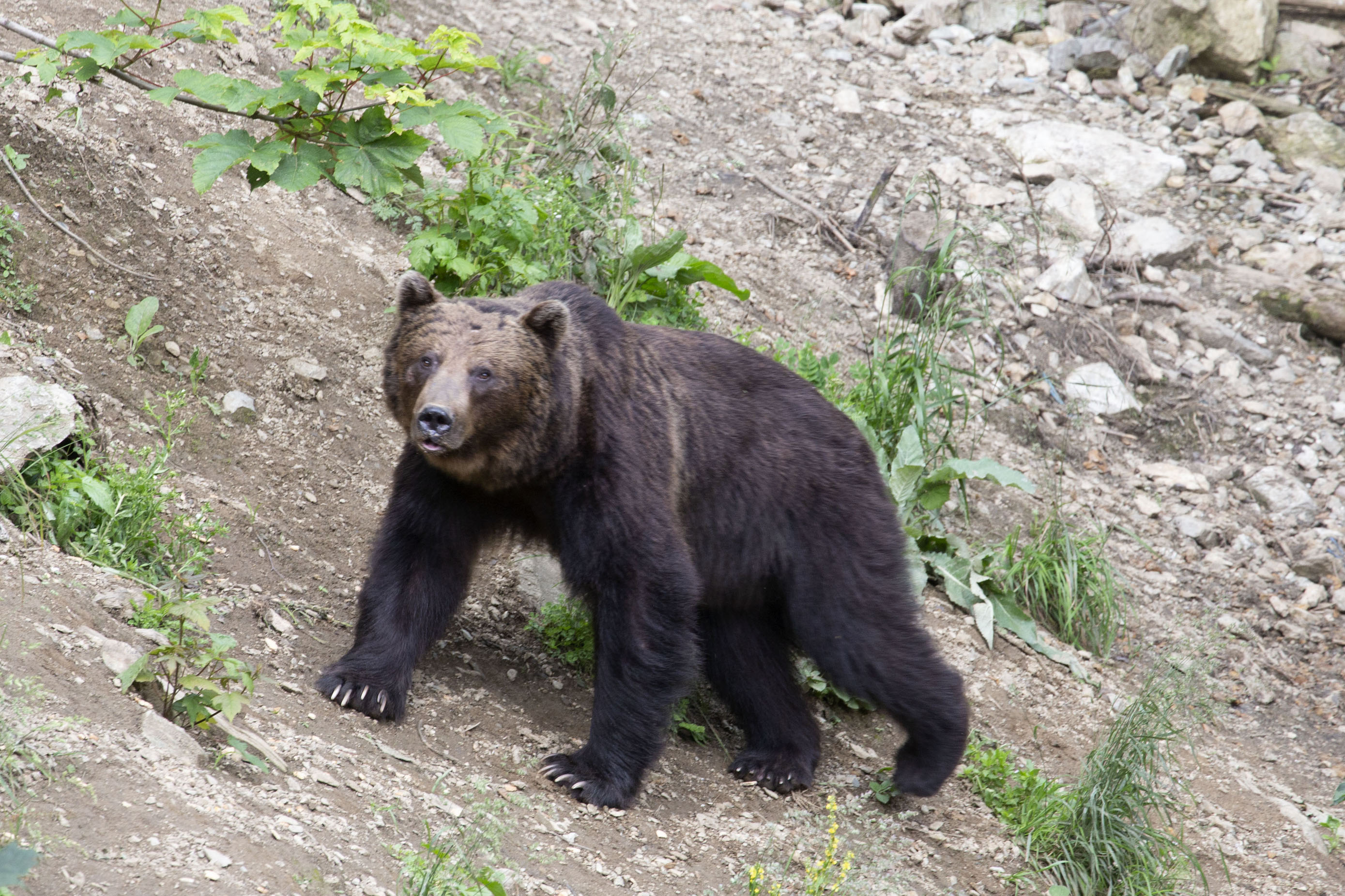 Foto van Brown bear walking a slope in an open spot in the forestZărnești - Roemenië