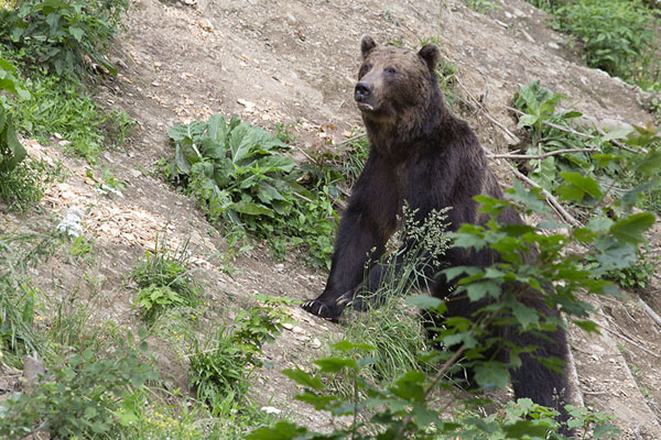Foto van Brown bear on the lookout in an open place in the forestZărnești - Roemenië