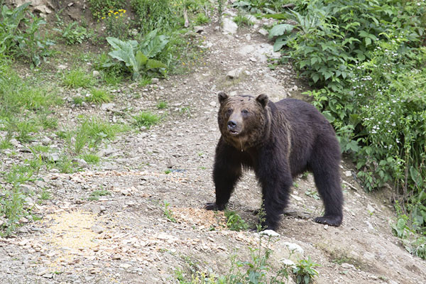 Foto van Brown bear standing still on a trail in the forestZărnești - Roemenië