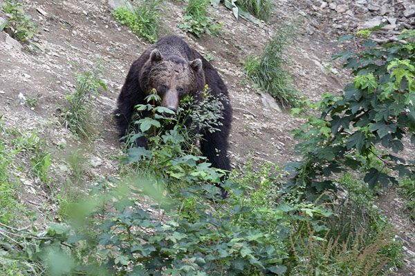 Foto van Brown bear walking an open spot in the forestZărnești - Roemenië