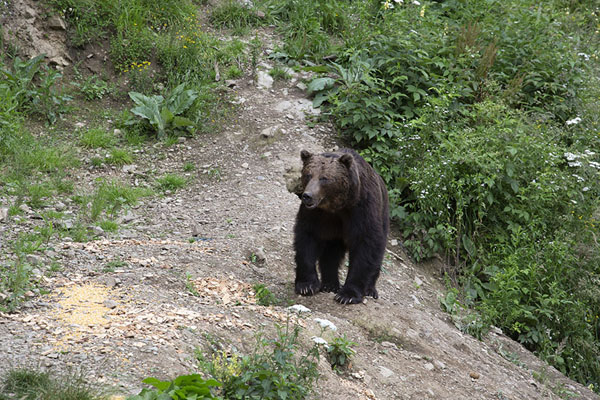 Foto van Bear looking for food in an open place in the forestZărnești - Roemenië