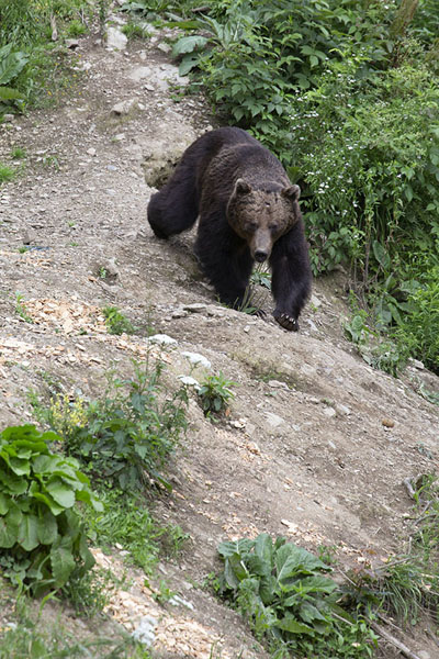 Foto van Brown bear walking a trail in the forest north of ZărneștiZărnești - Roemenië