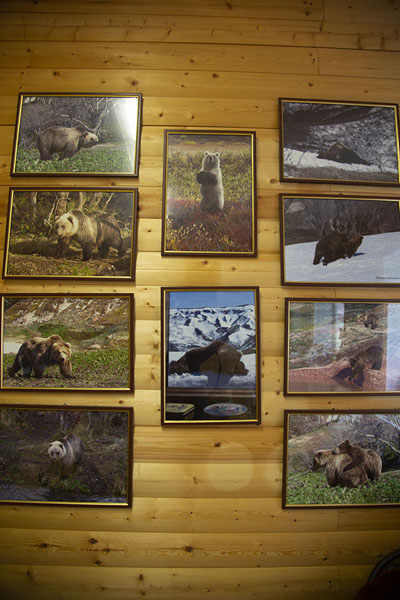 Wall with pictures of bears in the bear museum of Esso | Esso | Russia