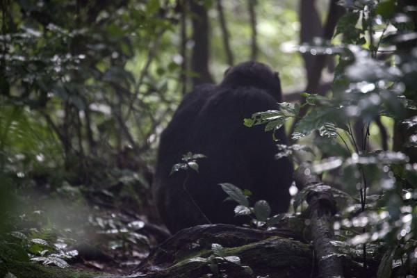 Chimpanzee sitting on the floor in the forest of CyamudongoChimpanzee tracking - 盧安达