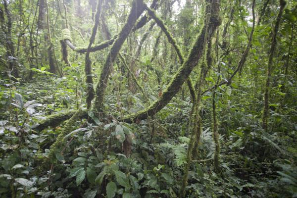 Picture of Cyamudongo forest in the early morning - Rwanda - Africa