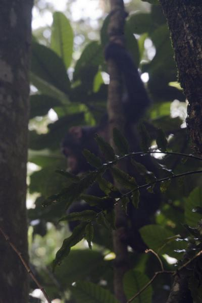 Young chimp in a tree in Cyamudongo forestChimpanzee tracking - 盧安达