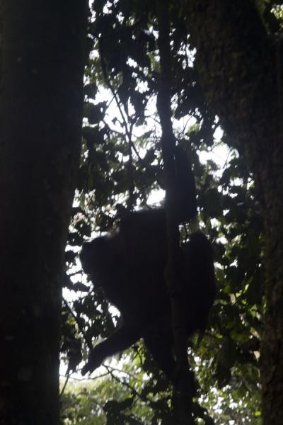 Picture of Young chimp coming down a tree in Cyamudongo forest