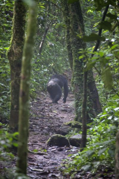 Chimpanzee using one of the trails of CyamudongoChimpanzee tracking - 盧安达