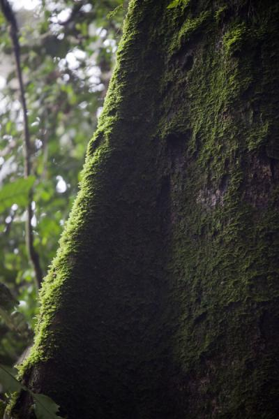 Moss-covered trunk of a tree in the forest | Chimpanzee tracking | Rwanda