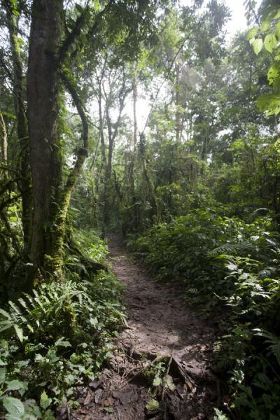 Picture of The trail through Cyamudongo ParkCyamudongo - Rwanda