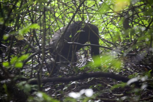 Chimpanzee rushing through the dense forestChimpanzee tracking - 盧安达