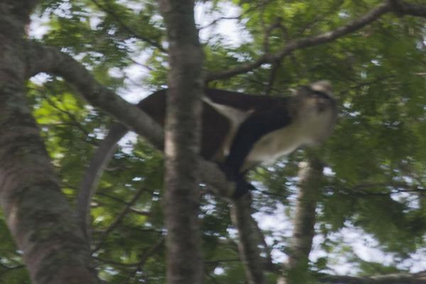 Picture of Mona monkey ready to jumpCyamudongo - Rwanda