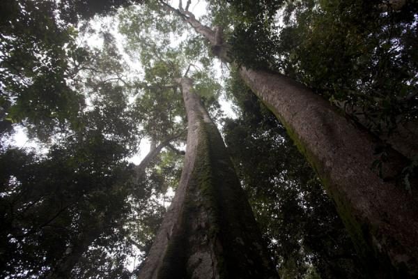 Picture of Looking up the giant trees of Cyamudongo Park, in search of monkeysCyamudongo - Rwanda