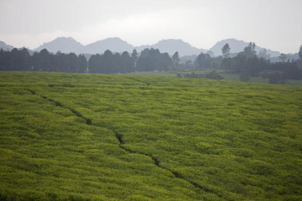 Hill covered with tea plantations with trees and mountains in the background | Gisakura tea plantations | Rwanda