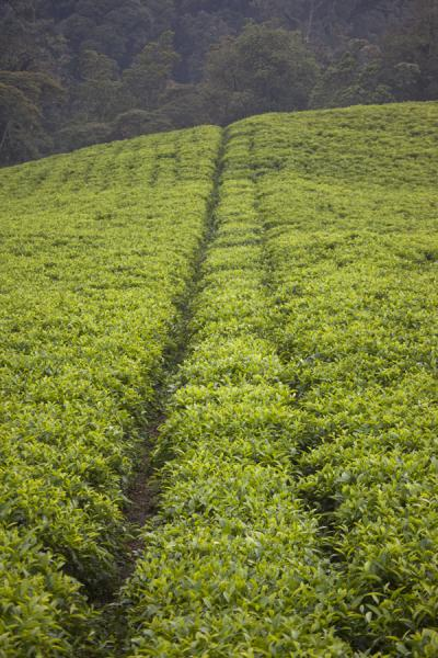 Parallel trails cut through a tea plantation near Gisakura | Gisakura tea plantations | Rwanda