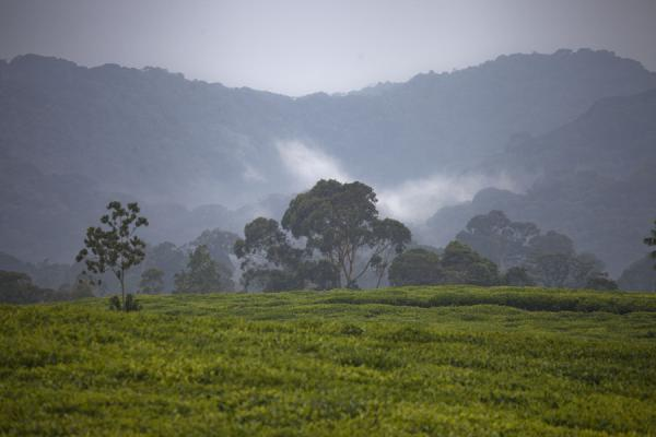Tea plantations and trees with cloud near Gisakura | Gisakura tea plantations | Rwanda