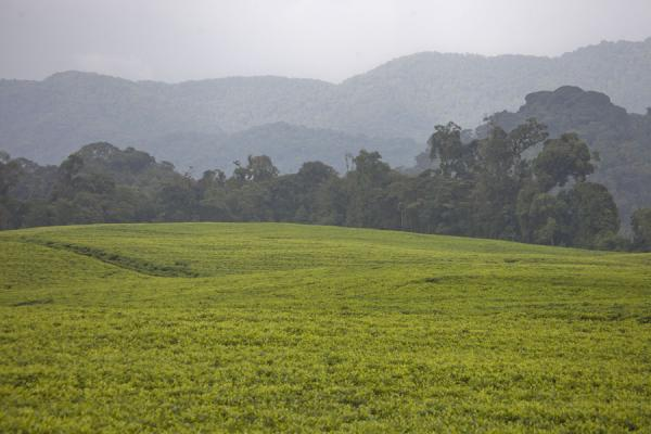 Picture of Gisakura tea plantations (Rwanda): Tea plantations with trees and mountains in the background