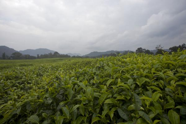 Picture of One of the many tea plantations near Gisakura