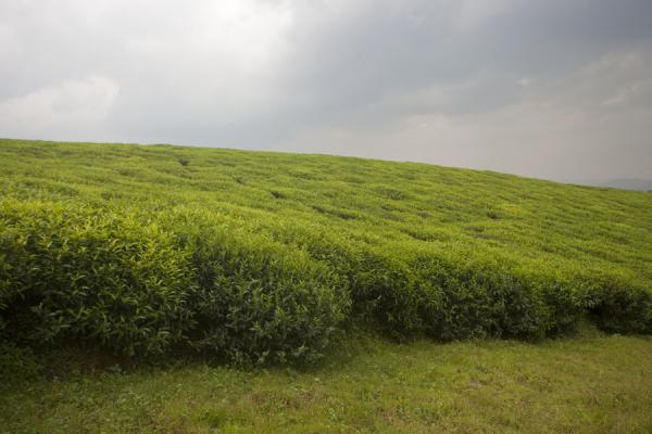 Green tea plantation under a grey sky | Gisakura tea plantations | Rwanda